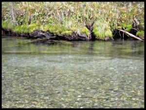 Bull trout on their spawning beds